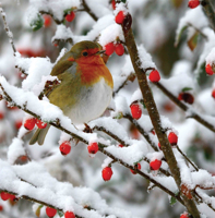 Picture of (Christmas Cards x 10) Robin on a Branch